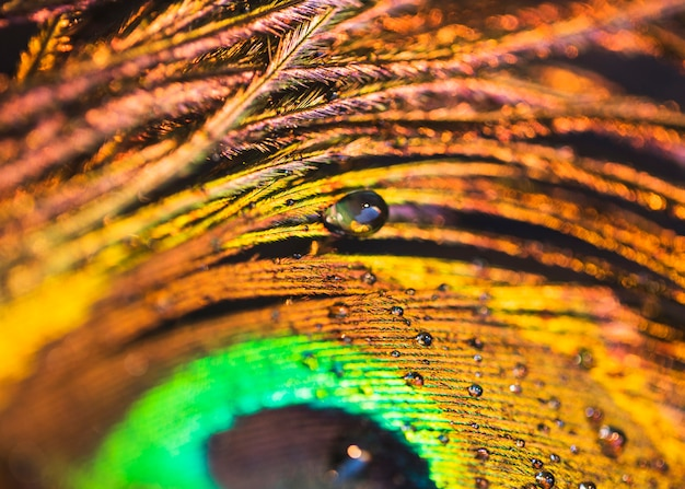 Detail of water droplets on the peacock feather Free Photo