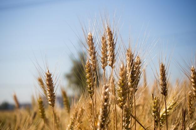 Detailed wheat field shot Free Photo