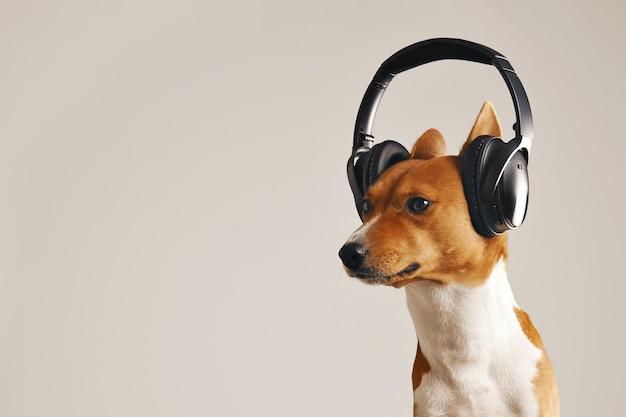 흰색에 고립 된 거대한 헤드폰을 쓰고 흰색과 갈색 Basenji 개를 찾고 결정 무료 사진