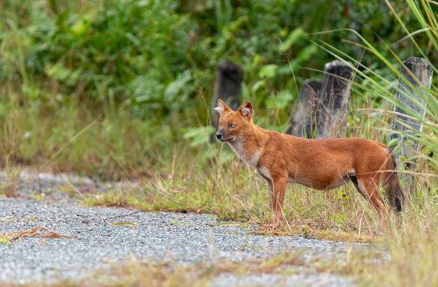 Dhole or asian wild dogs walk Premium Photo