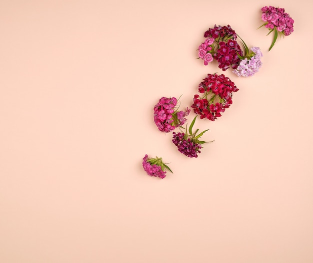 トルコのカーネーションdianthus barbatusが咲く Premium写真
