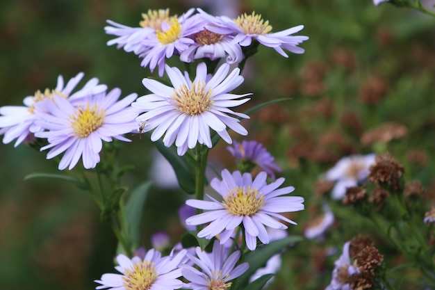Diasy flower in nature Premium Photo