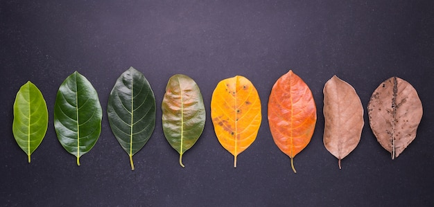 Different color and age of leaves of the jackfruit tree leaves Premium Photo