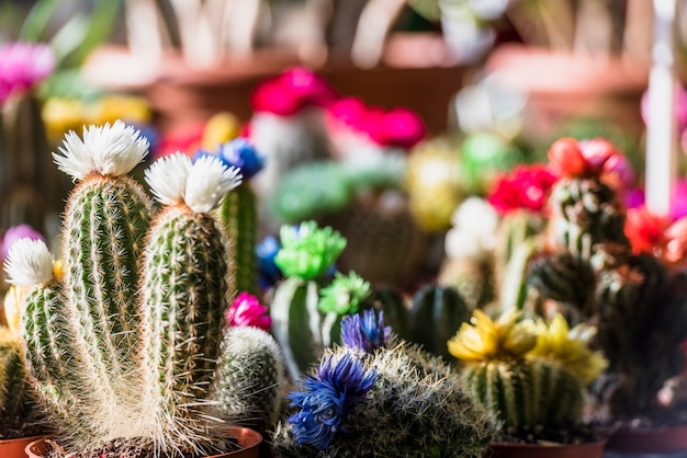Different flowering cactuses in pots Free Photo
