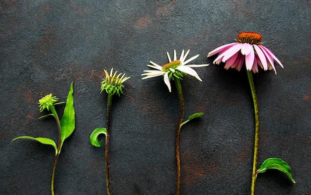 黒いコンクリート表面の表面でのエキナセアの花の成長のさまざまな段階 Premium写真