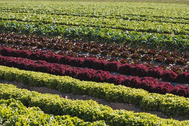 Разные виды салатов в полевых условиях Premium Фотографии
