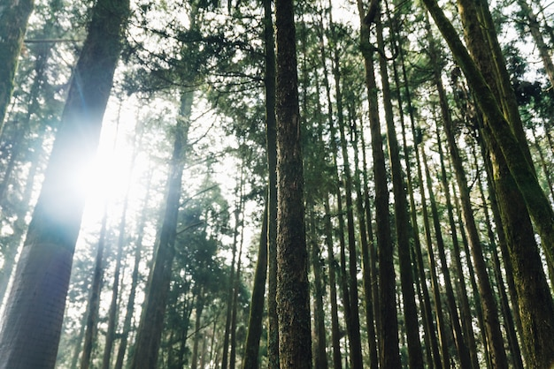 Direct sunlight through cedar trees in the forest in alishan national forest recreation area. Premium Photo