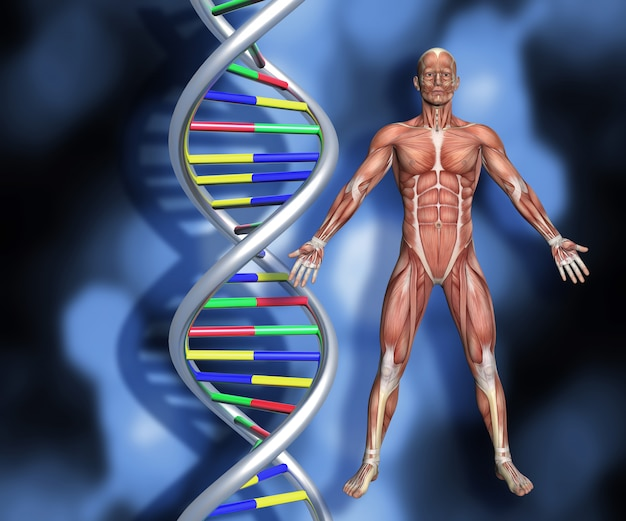 Dna strands with 3d male figure with muscle map Free Photo