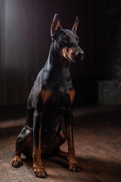 Doberman pinscher against black background front view Premium Photo