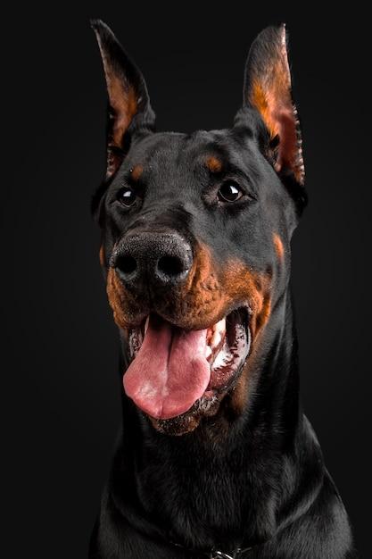 Doberman pinscher portrait Premium Photo