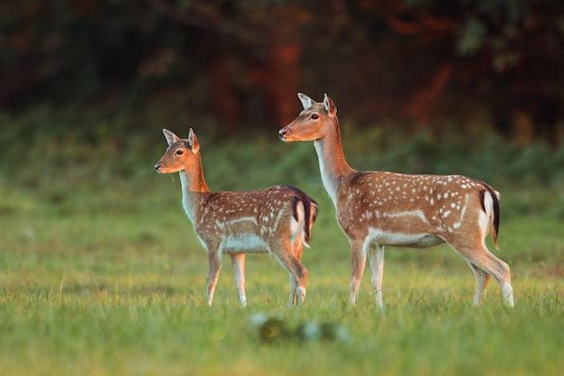 Doe and fawn fallow deer, dama dama, in autumn colors in last sunrays. Premium Photo