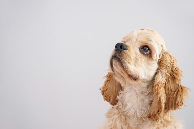 개. 회색 벽에 미국 좋 소 강아지 클로즈업. 텍스트를위한 공간 프리미엄 사진