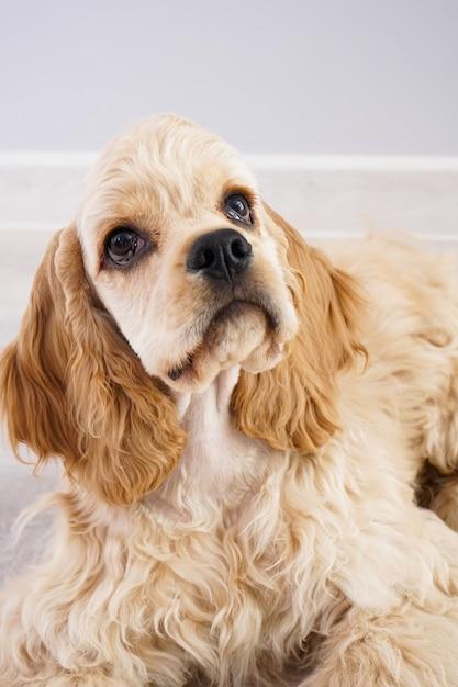 개. 회색 벽에 미국 좋 소 강아지 클로즈업. 프리미엄 사진