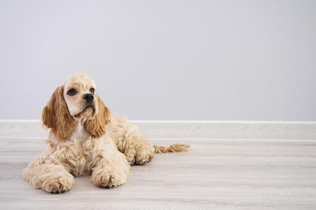 犬。テキスト用のスペースがある灰色の壁にアメリカンコッカースパニエルの子犬 Premium写真