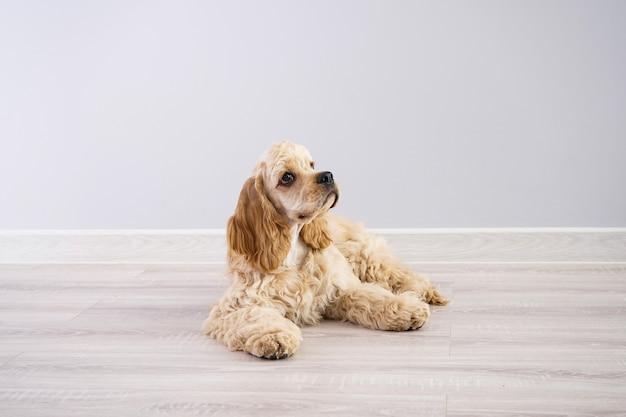 개. 회색 벽에 미국 좋 소 강아지 프리미엄 사진