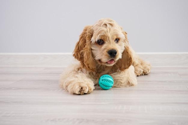 개. 회색 벽에 공 미국 좋 소 강아지 프리미엄 사진