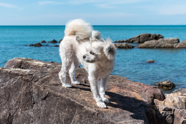 Dog Beige Color Mixed Breed With Shih Tzu Pomeranian And Poodle On