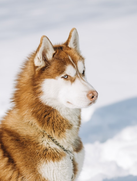Dog blue eyed husky brown white colors sits on a snow