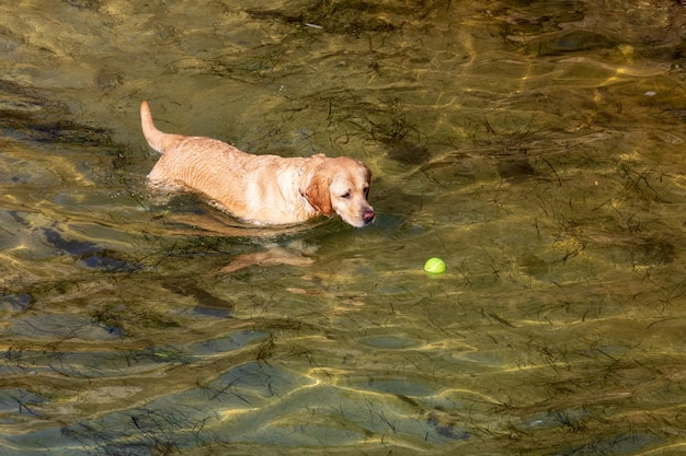 Dog of breed labrador retriever. foreground. short and light hair. playing in the water (sea) with ball on sunny day. Premium Photo
