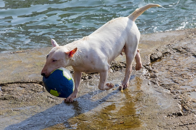 Dog of breed miniature bull terrier (sequence several photos). short hair and white (clear). jumping to play in the water (sea) with ball (ball) on sunny day. Premium Photo