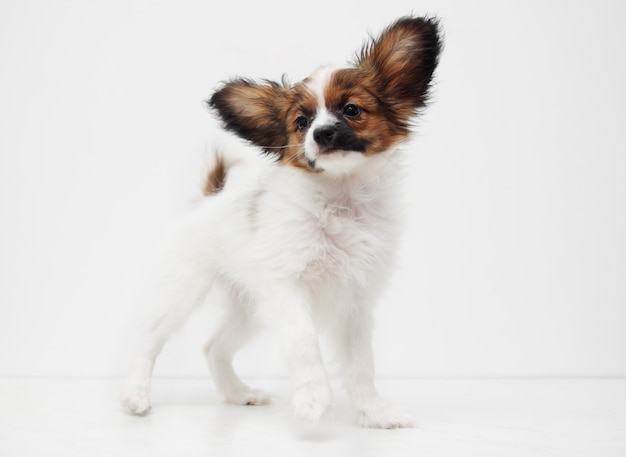 Собака породы папийон стоя Premium Фотографии