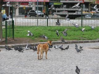 犬を追うハト 無料写真