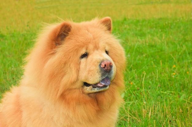 犬のチャウチャウの品種 Premium写真