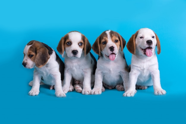 Dog,cute of group of beagle puppy sitting and panting Free Photo