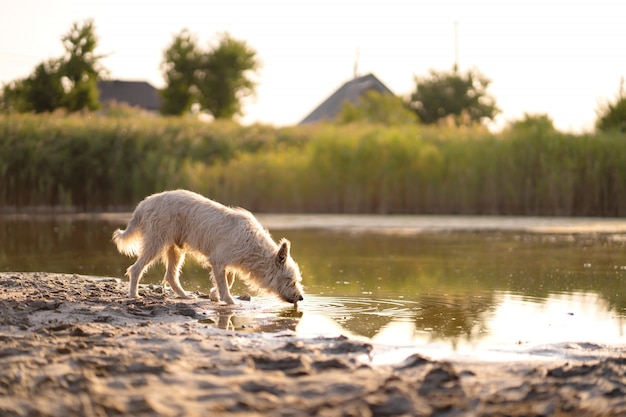 Dog drinks water from a lake at sunset Premium Photo