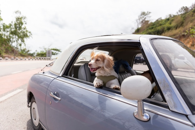 Dog enjoying a ride with the vintage car color purple on the road Premium Photo