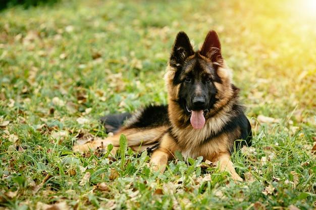 Dog german shepherd lying on grass in park Free Photo