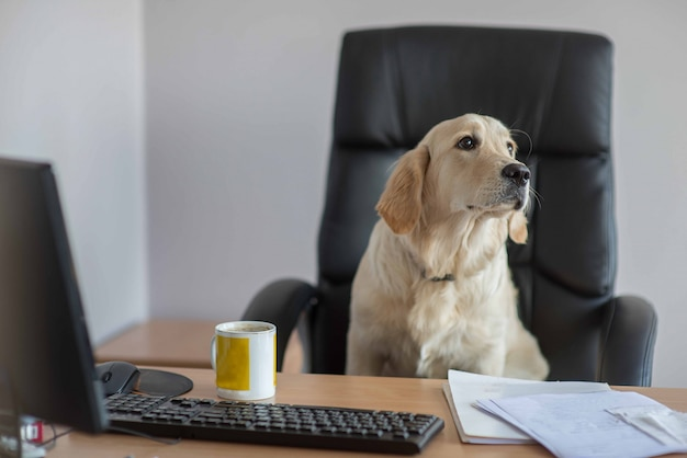 Dog golden retrievers working in office Premium Photo