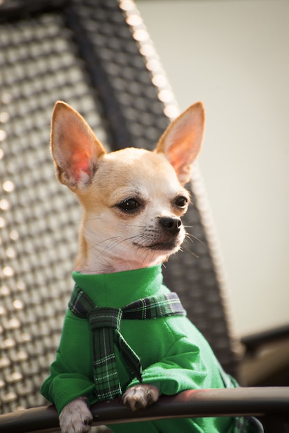 Dog in green clothes for a walk. Premium Photo