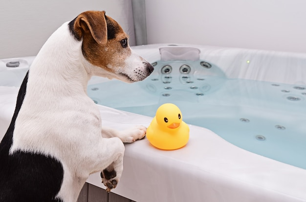 Dog is going to take bath with yellow rubber duck Premium Photo