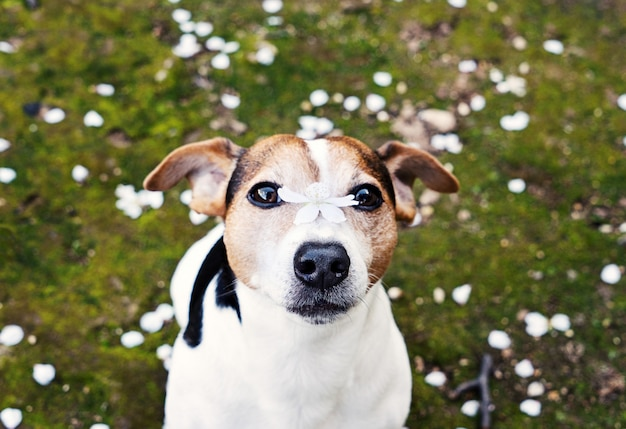 Dog looking at camera with cherry flower on nose Premium Photo