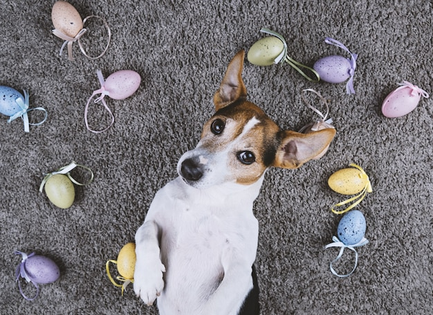 Dog lying back on gray carpet with easter painted eggs Premium Photo