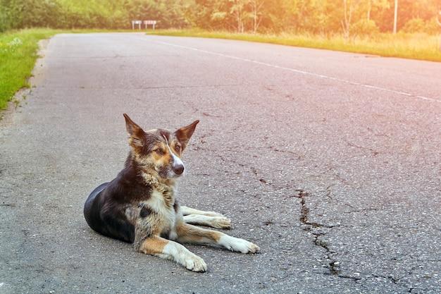 田舎の早朝、高速道路の車道に犬の雑種が横たわっています。 Premium写真