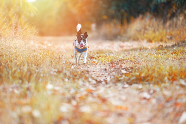 Dog outside running yellow grass field at sunset in the autumn tree forest at park background - pet dog outdoor walks in the garden summer Premium Photo