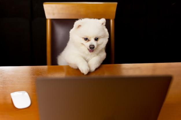 犬ポメラニアンスピッツとラップトップコンピューターとテーブルの上。 Premium写真