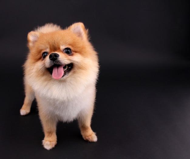 犬ポメラニアン。 Premium写真