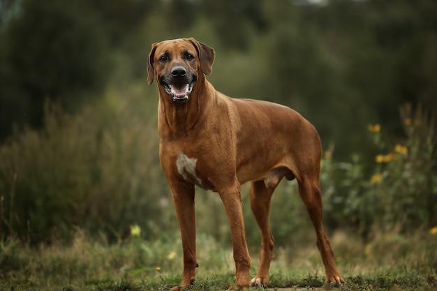 Dog rhodesian ridgeback walk outdoors on a field Premium Photo