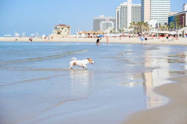Dog runs from the water to the sandy beach. happy pet at the sea. Premium Photo