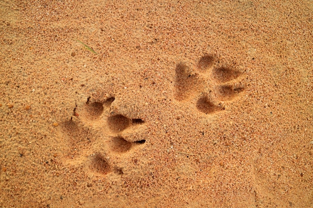 Dog's footprints on the golden sand, free space for text and design Premium Photo