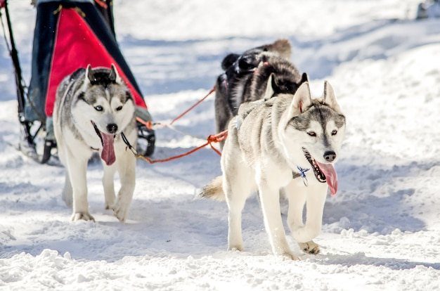 Dog sledding. siberian husky sled dog team in harness. Premium Photo