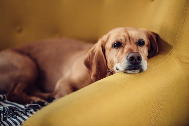 Premium Photo | Dog sleeping on the sofa