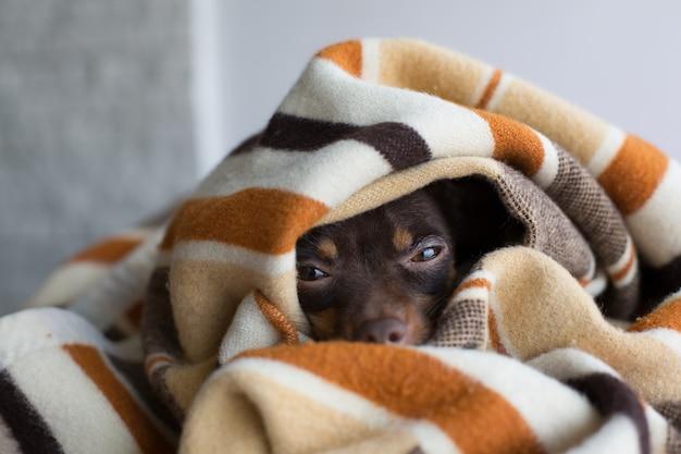 Dog sleeps under the blanket Premium Photo