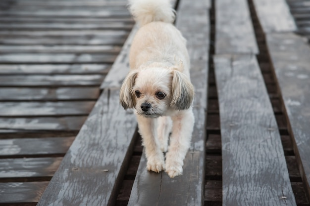 Dog So Cute Beige Color Mixed Breed With Shih Tzu Pomeranian And
