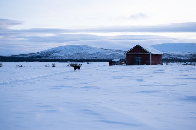 Dog standing n a snowy field with a wooden house in the distance in sweeden Free Photo