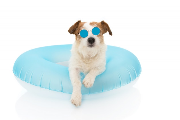 Dog summer vacations. jack russell dog sunbathing with blue air float pool wearing sunglasses on holidays. Premium Photo