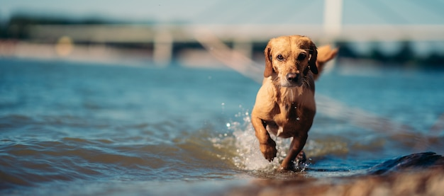 Dog walking in the shallow water Premium Photo